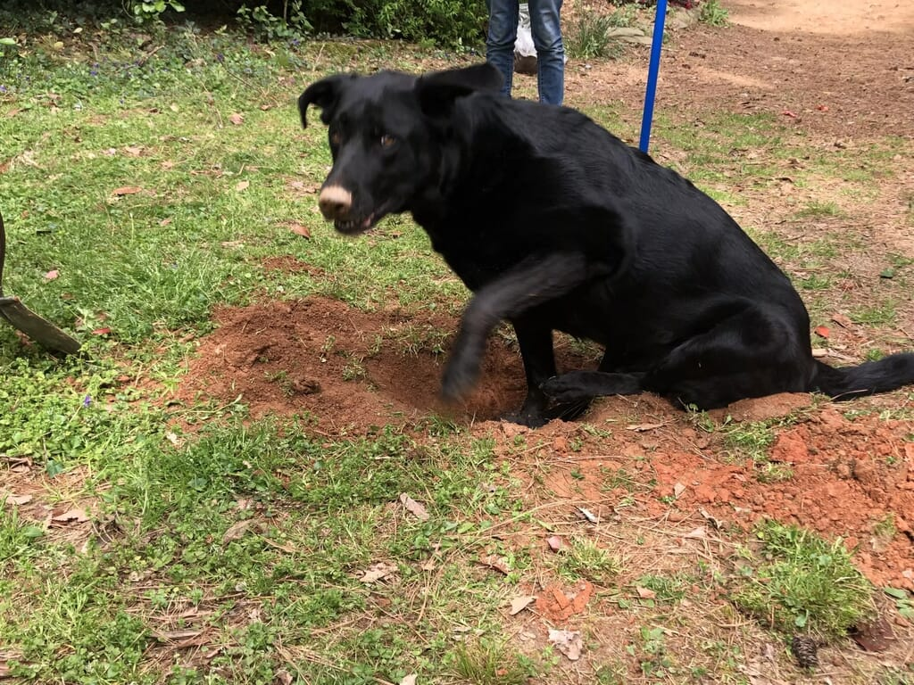 Our sweet lab/shepherd mix insisted on helping us dig the holes for fruit trees.